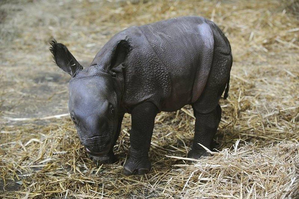 Nosorožec indický v plzeňské zoo
