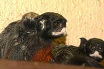 Malý tamarín bělohubý je v plzeňské zoo prvním přírůstek roku. Narodil se 2. ledna a před objektivem se dlouho schovával.