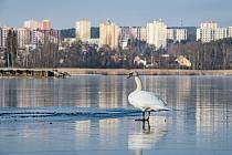 Velký bolevecký rybník zamrzl.