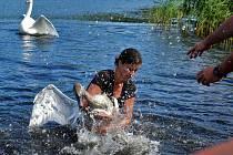 Labutí mládě mále zabil vlasec v krku, pomohli záchranáři.