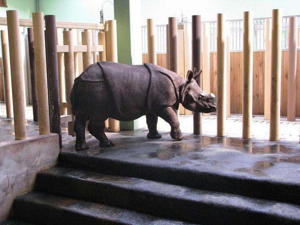Nosorožec indický - dvouletá samice Manjula