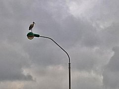 Snímek ze středy uveřejněný v databázi birds.cz zachycuje čápa na pouliční lampě na Třídě 5. května ve Stříbře.