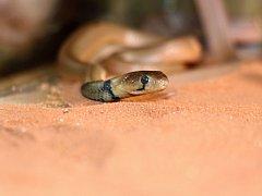 Kobra červená z plzeňské zoo