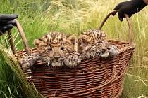Plzeňská zoo pokřtila dvojčata vzácného levharta čínského.