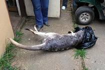 Uhynulý klokan Lojza