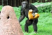 Šimpanzice Bamia z plzeňské zoo slaví 10. narozeniny