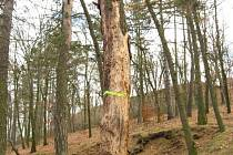 Z porostu zmizí suché, poškozené, vrůstavé a konkurující neperspektivní dřeviny a stromy napadené kůrovcem