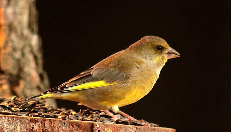 Ptáci v krmítku - zvonek zelený