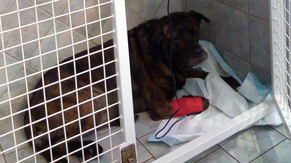 Jeden z otrávených psů, který díky včasnému podání protijedu stále bojuje o život.