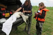 Labuťák po souboji se psem sice přišel o křídlo, ale už je zpátky u labutě s mláďaty.