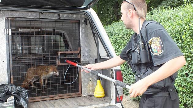Liška, která se usadila v obýváku rodiny Bláhových v Plzni, je teď v karanténě. Možná je nemocná
