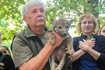 Plzeňská zoologická zahrada poprvé na veřejnosti představila šestici mláďat vlků evropských, na akci se ukázal i známý filmový scenárista a režisér Václav Chaloupek.
