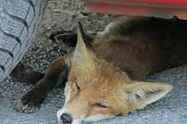 Uhynulá nakažená liška nalezená letos v Božkově