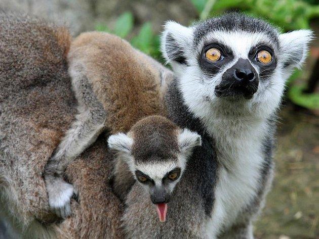Lemuří rodinka v plzeňské zoo se rozrostla o dalšího člena