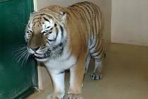 Tygr Uschi, který byl do plzeňské zoo dovezený z holandského Rhenenu
