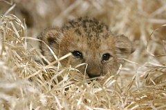 Mládě lva berberského v plzeňské zoo