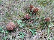Mykologická exkurze u Konstantinových Lázní. Na snímku hřiby kováře