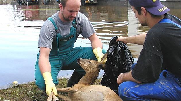 Povodně zabíjely naštěstí jen zvířata. Když voda opadla, museli záchranáři likvidovat mrtvá těla domácích i divokých zvířat.
