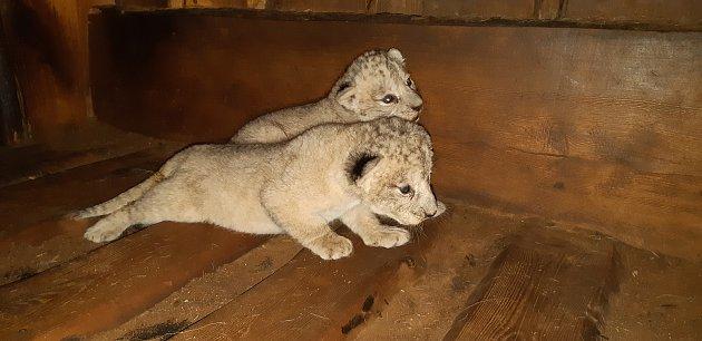 Lvice a lvíček, kteří se vúterý narodili samici lva berberského Tamice.