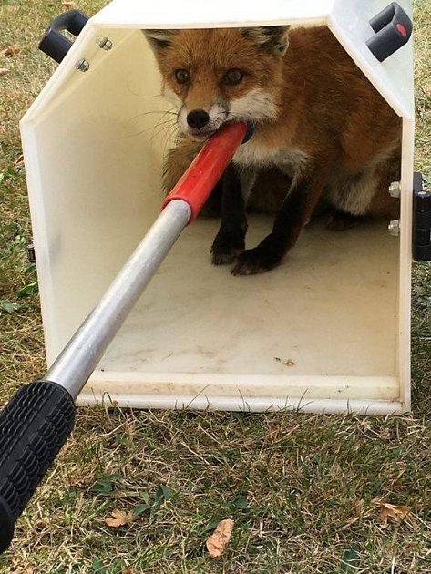 Lišku museli odchytit strážníci