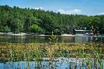 Na hladině Seneckého rybníka vykvetlo několik tisíc květů hmyzožravé rostliny Bublinatky jižní.