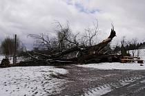 Zimu nevydržela. Památnou lípu rozlomil na konci letošního března silný vítr.