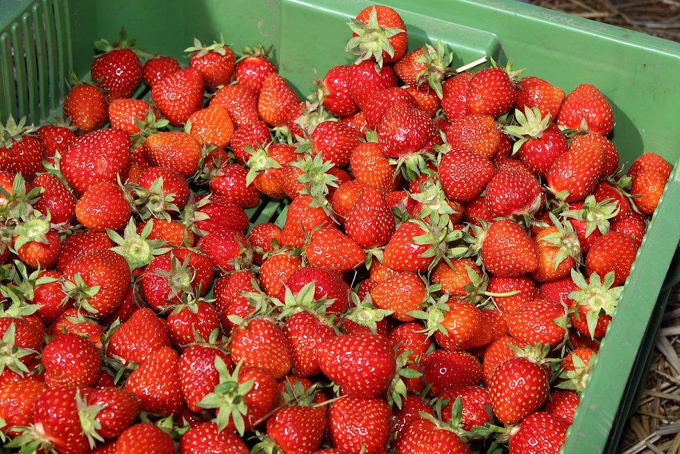 Na pěti hektarech mezi Plzní a Radčicemi dozrávají jahody různých odrůd. Cena jahod je 100 korun a při samosběru 80 korun za kilogram.