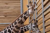 Plzeňští samci Lex a Bořek (vlevo) se s novými přáteli očichávali zatím jen přes hrazení, pracovníci zoo je pustí do jednoho výběhu až po jednom dni. Bořek si na Jirku a Matýska možná pamatuje, v Praze byli totiž ve stejném stádu až do května