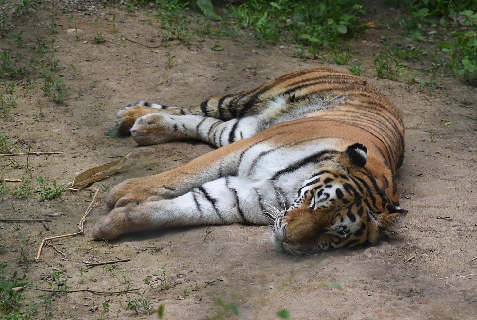 Ve svém výběhu v plzeňské zoo si pomalu zvyká nová tygřice Milashki (na snímku). V nově zrekonstruovaných výbězích doplnila do páru tygra Tibera.