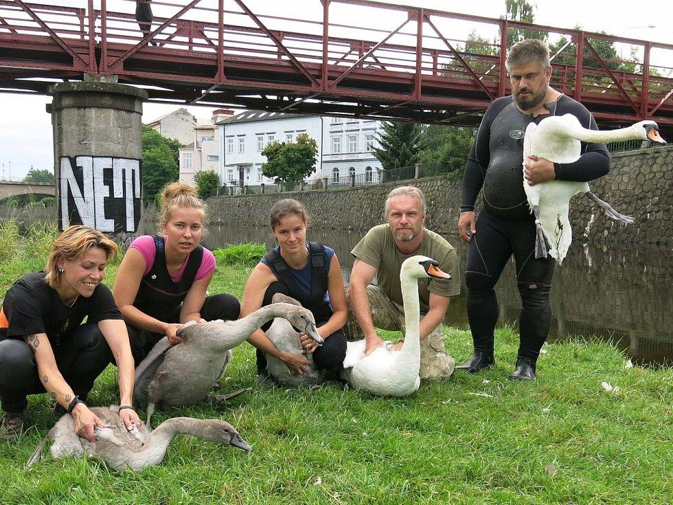 Labutí rodinka u řeky Mže.
