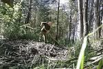 Pachatel ničící bobří hráz