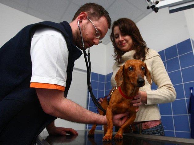 Psíci bývají na veterinární klinice většinou vyplašení stejně jako fenka jezevčíka Honzice, kterou na snímku vyšetřuje veterinář Pavel Mužík