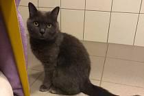 Našla se britská kočka, hledá se majitel.