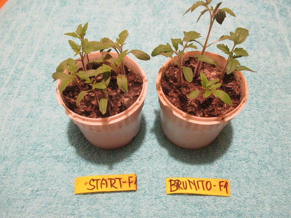 Rostliny rajčat před rozsazením.