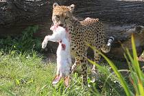 Gepardi si smlsli na králících