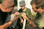 Labuti v Borku u Rokycan zase vytáhli ze zobáku rybářský háček se splávkem.