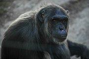V plzeňské zoologické zahradě odstartovala hlavní sezóna. Na snímku šimpanz učenlivý