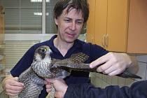 Plzeňský veterinář Oto Huml při vyšetření poraněného sokola stěhovavého