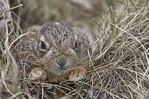 Mládě nalezeného zajíce u silnice nedaleko Kožlan