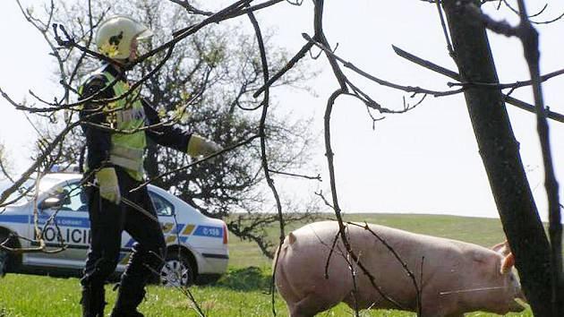 Vůz převážející živá prasata u obce havaroval necelou půlhodinu před polednem