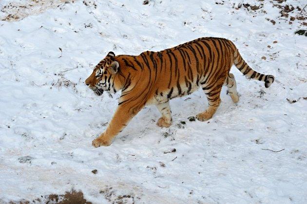 Ze zimy  mají vzoo radost tygři ussurijští.