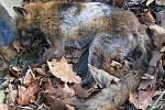 Liška, která uhynula v roce 2014 v parku na Homolce. Kromě psinky měla také svrab, který je na snímcích viditelný. Psinka vidět není a zvíře se psinkou nemusí vypadat jako tato liška
