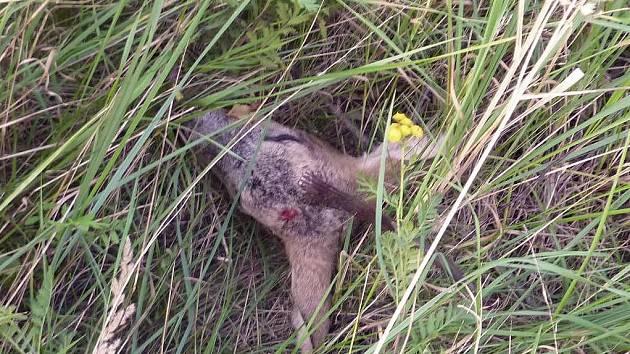 Bezdomovci si na Lochotíně porcovali srnčí zvěřinu. Hlavu zvířete našli policisté pohozenou v trávě