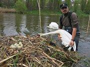 Záchrana labutího hnízda na řece Radbuze v Plzni