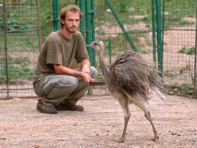 Ošetřovatel Marcel Šefl krmí v plzeňské zoo mládě  pštrosa nandu pampového