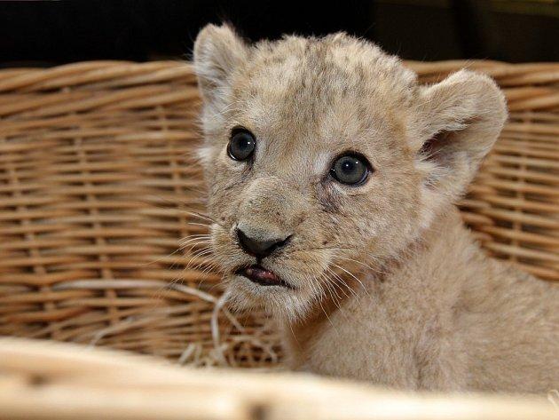 Mládě lva berberského dostalo jméno Amira