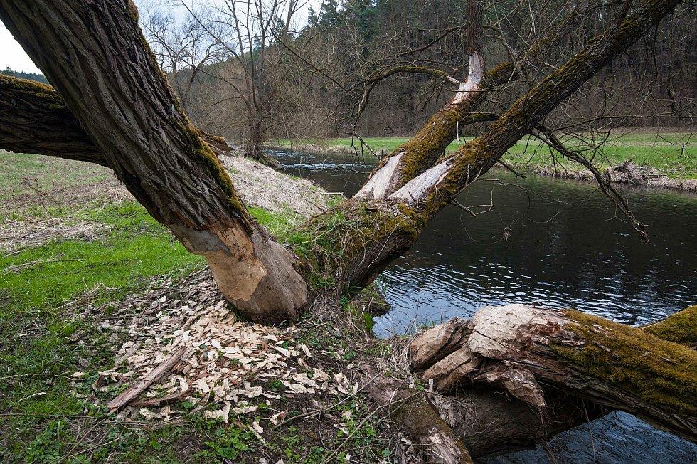 """""""Bobři od Střelí řeky"""" likvidují v okolí objemné kmeny."""