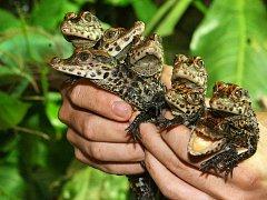 Mláďata krokodýla čelnatého v plzeňské AKVA-TEŘE