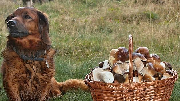V okolí Velké Hleďsebe nasbíral čtenář Martin Hamaďak se svým čtyřnohým pomocníkem plný košík hub.