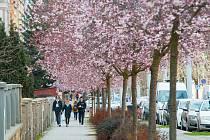 Rozkvetlé sakury v Plzni.